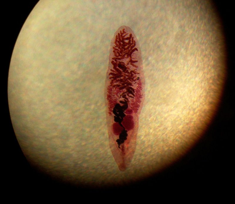 червь сосальщик dicrocoelium dendriticum