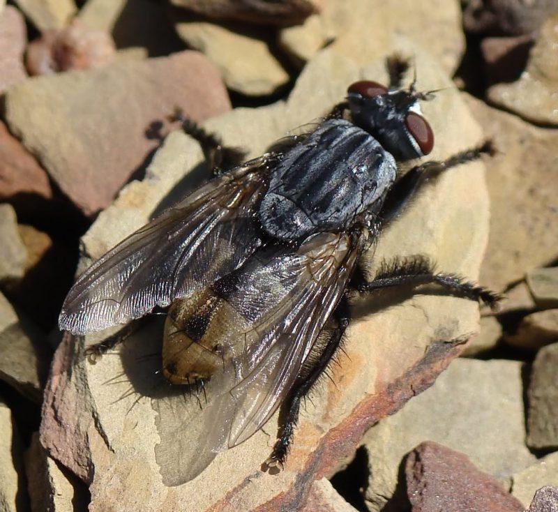 личинки мухи