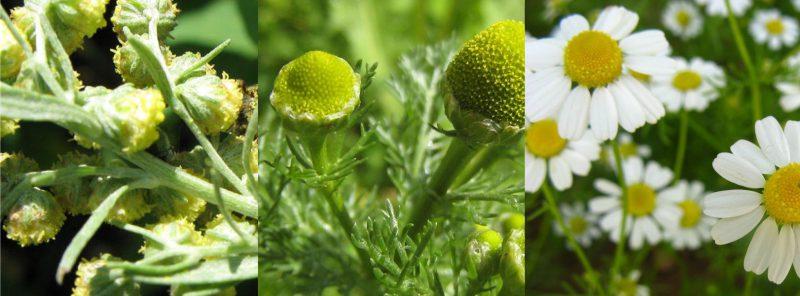 отвар из цветков ромашки, листьев полыни, цветков пижмы