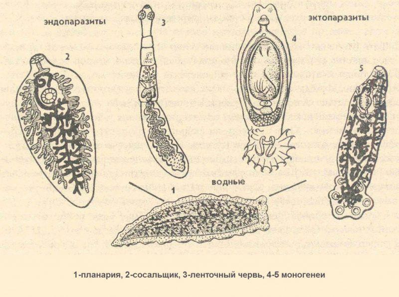 строение паразитов