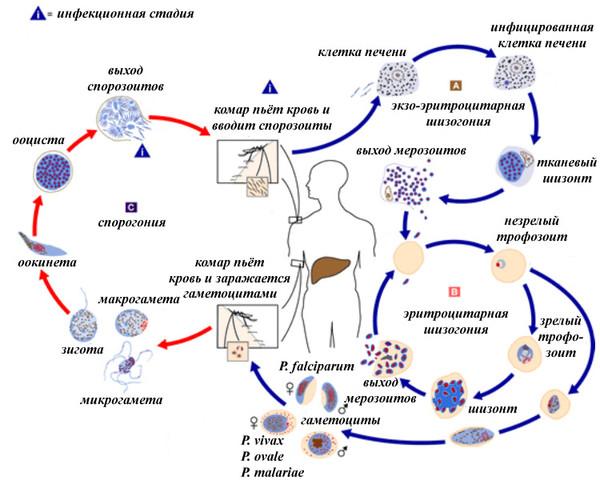 Механизм развития эхинококка