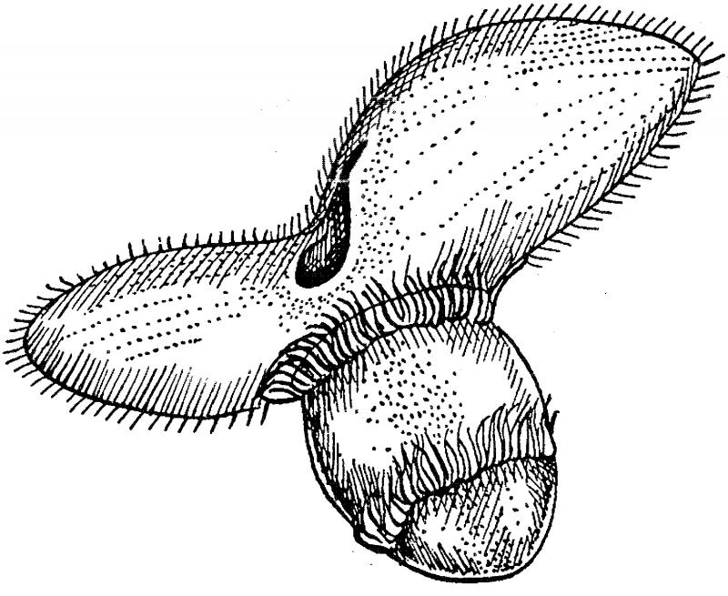 размножение инфузории туфельки