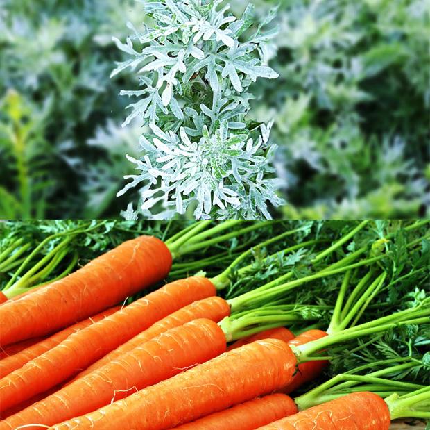 полынь с морковью