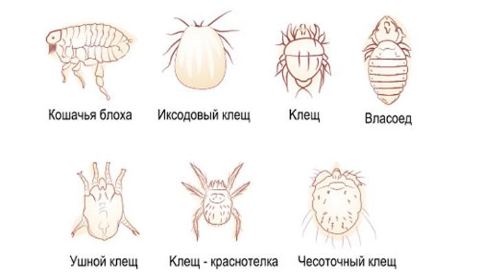 виды паразитов, живущих на коже человека