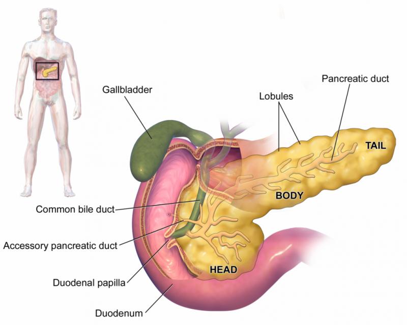 лямблии в организме человека