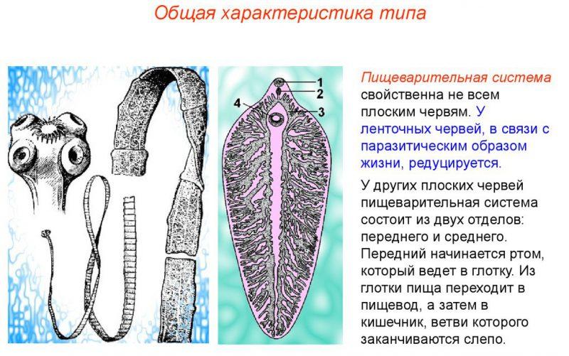 характеристика ленточного червя