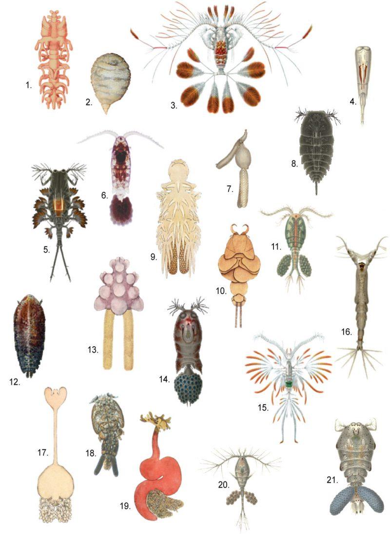 паразиты Сфирион люмпи