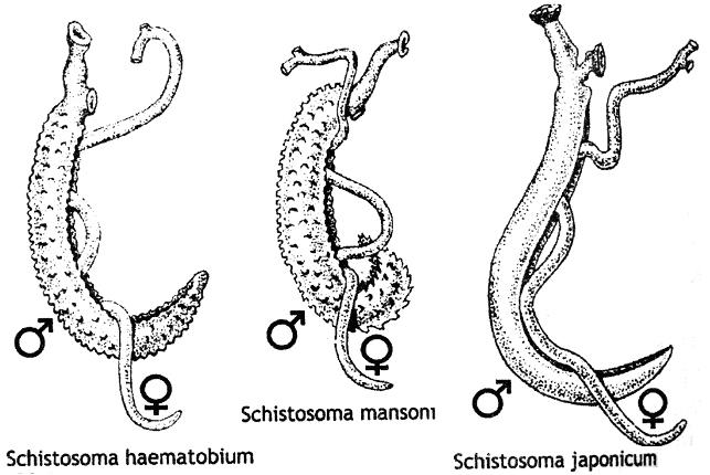 Шистосомы
