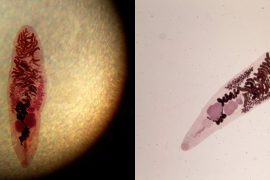 Дикроцелиоз у человека: диагностика и лечение заболевания
