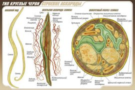 Общая характеристика круглых червей