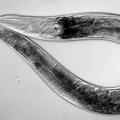Круглые черви: строение и виды