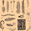 Как выглядят глисты у человека и их разновидности