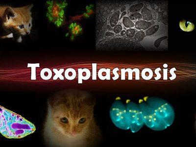 Токсоплазмоз. Способы заражения и профилактика заболевания